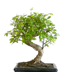 Bonsai Gift Ideas